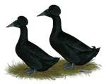Crested Ducks Black