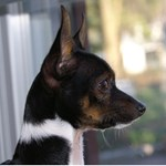 Toy Fox Terrier - Profile