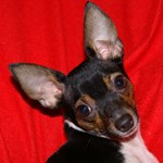 Toy Fox Terrier - Red