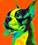 Vintage Boston Terrier Close-Up