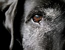 Black Labrador Old & Smart