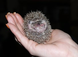 Hardly a Handful Hedgehog