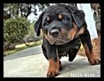 Rottweiler Puppy Calendar