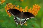 Graceful Butterlfy