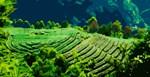 Korean Dasan Tea Gardens