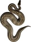 Mystic Potion ball python