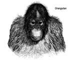 Orangutan Ape Monkey