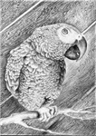 Portrait of an African Grey Parrot #1
