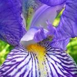 Purple Bearded Iris Monsignor