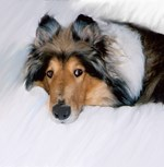 Relaxed Collie