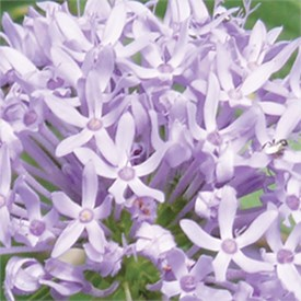 Lilac Blue Flowers
