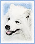 Samoyed - Multiple Illustrations