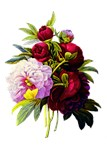 Pink and Red Peonies by Redoute