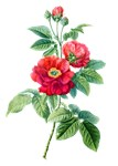 Rose of Province Drawn From Nature
