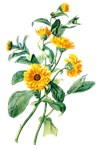 Marigold Drawn From Nature