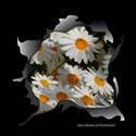 WHITE DAISIES T-SHIRTS AND GIFTS