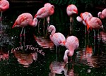 Pink Flamigos I Love Florida