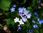 .forget-me-not.