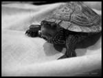.b&w turtle.