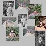 Meerkat Photo Gifts
