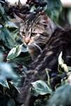 Cat in Vine