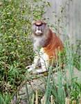 Patas Monkey on Rock