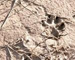 Pawprint in Mud