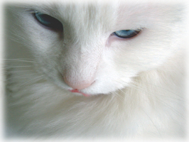White Kittie Blue Eyes