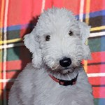 Dodger the Bedlington Terrier