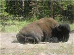 Sleeping Bison
