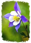 COLUMBINE FLOWER