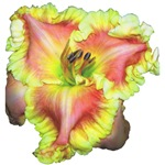 Pink w/ Ruffles Daylily