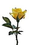 Ladybugs and rose