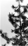 Pine tree in B and W - Office, Pets and auto secti
