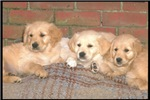 Golden Retriever Puppies Photograph Products