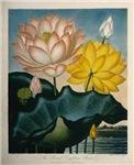 Sacred Egyptian Lilies