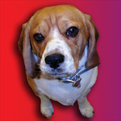 Doc Holliday's Beagle T-shirts & Gifts
