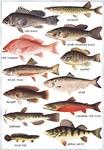American Fish Chart