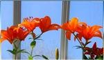 Tiger lilies, photo