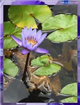 Water lily, floral photo!