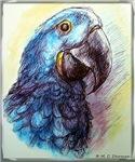 Hyacinth Macaw! Parrot, bird art!