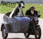 Cow in Sidecar