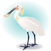 Elegant Illustrated Spoonbill
