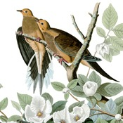 Audubon's Mourning Dove