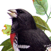 Fuertes' Rose-breasted Grosbeak