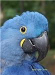 Hyacinth Macaw JM Csaky