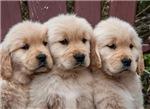 Sweet Golden Retriever Puppies