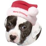 Christmas American Pit Bull Terrier