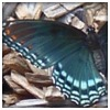 Astyanax Red-spotted Purple Butterfly
