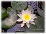 Light Waterlily